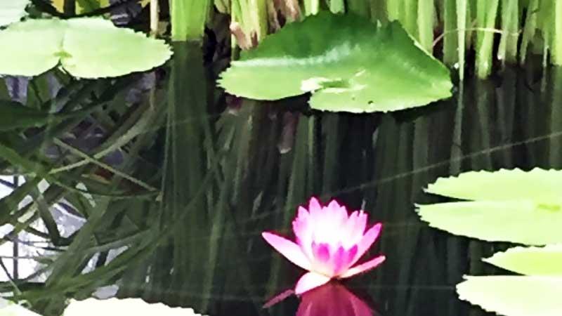 掛川花鳥園蓮池コーナー